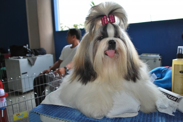 Top Knot Shih Tzu
